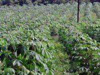 Maniok – Die Kartoffel der Tropen gegen den Welt Klimawandel